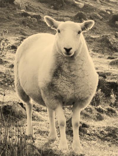 sheep-2187647